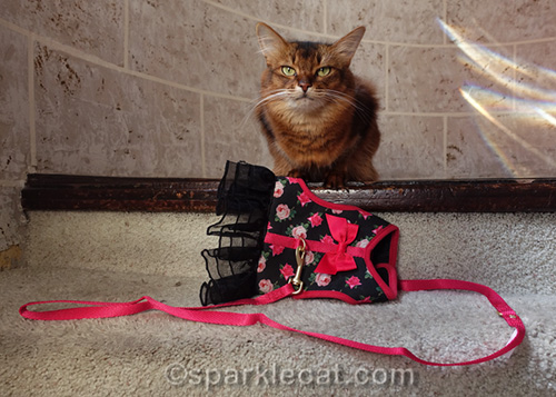 somali cat with harness dress
