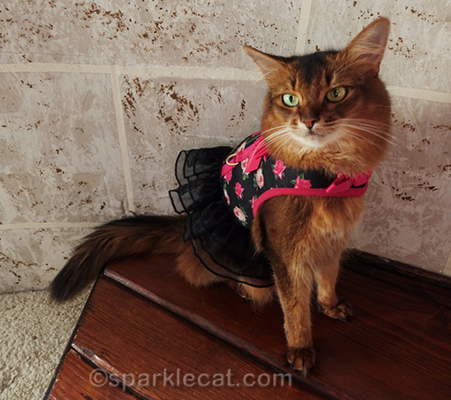 somali cat wearing rose print harness dress