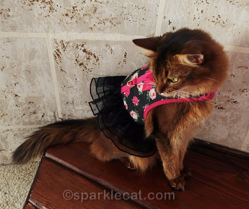 somali cat's modeling session is interrupted
