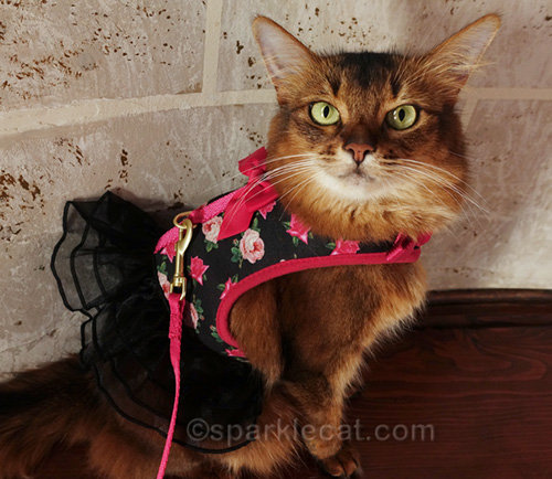 somali cat in harness dress and lead