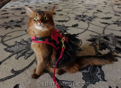 somali cat with harness and lead
