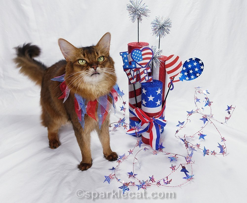 somali cat getting ready for Independence Day modeling session