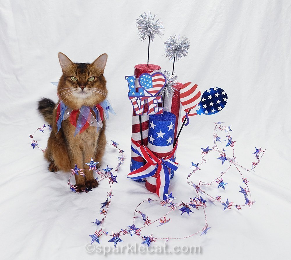 somali cat doing fourth of july photo session