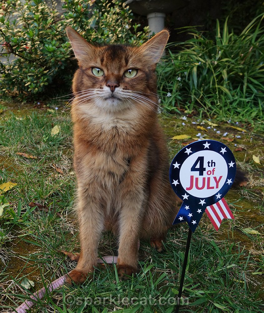 somali cat with Fourth of July photo prop