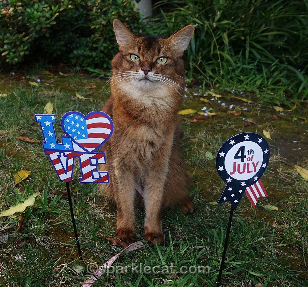 somali cat posing with two photo props for the fourth