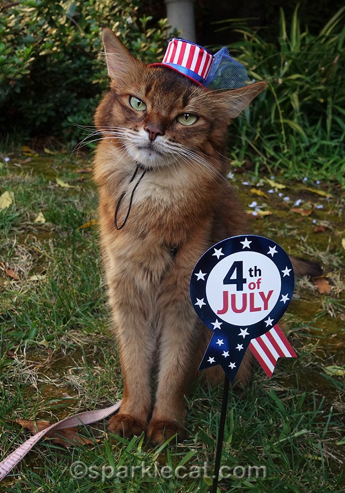 somali cat in fourth of july hat and sign