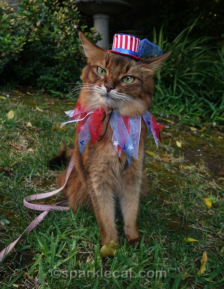 somali cat with uncle sam hat and fourth of july festive collar