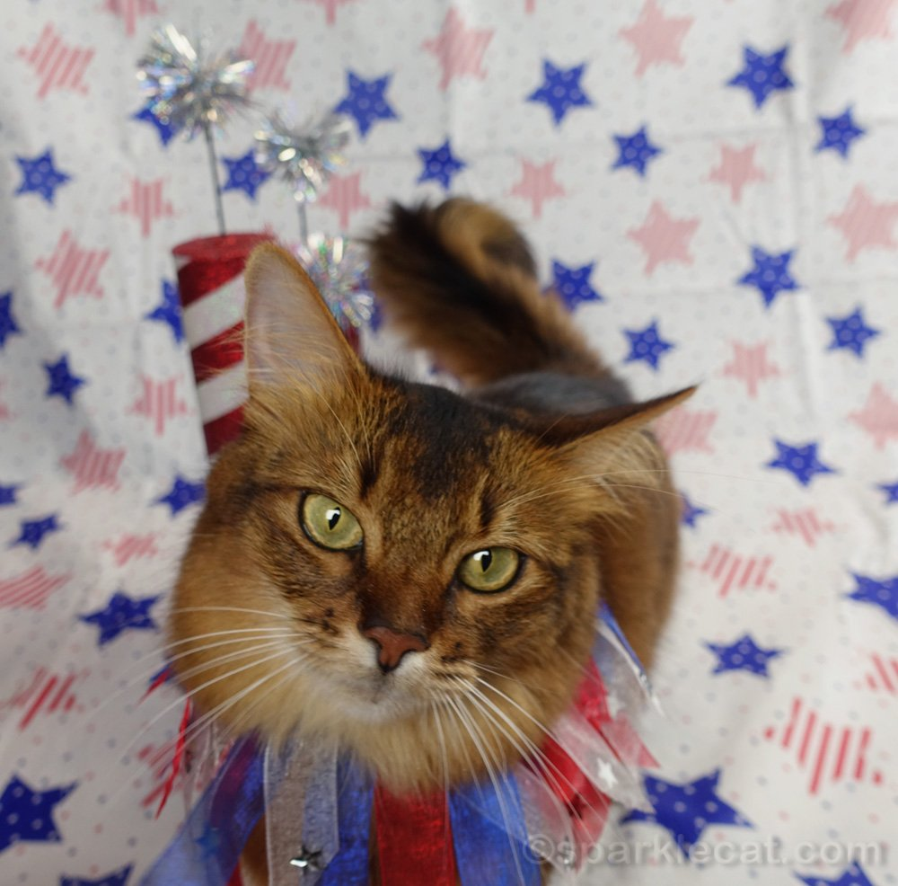 Somali cat interrupting her own Fourth of July photo session