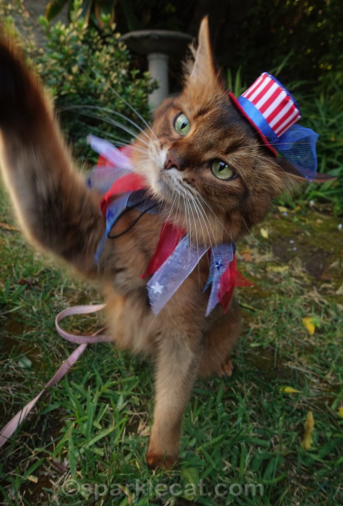 somali cat giving high five while wearing uncle sam hat