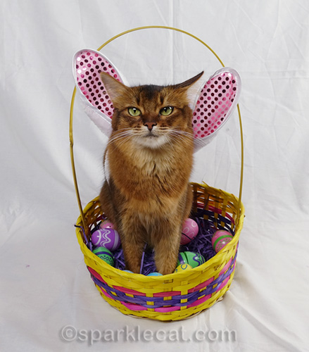 somali cat in Easter bunny ears or wings, thinking her human has gone mad