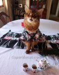 somali cat in kimono making weird face