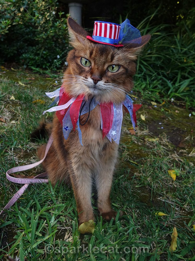 somali cat with airplane ears and uncle sam hat