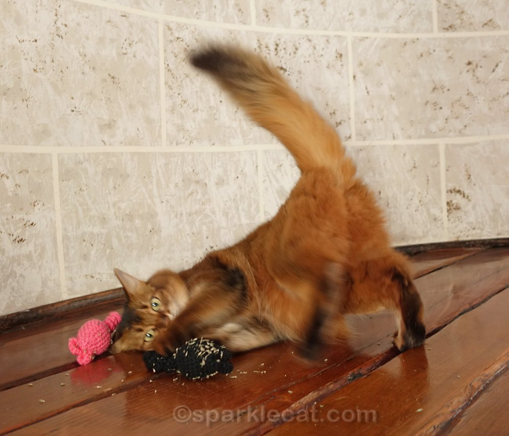 somali cat playing with catnip toys