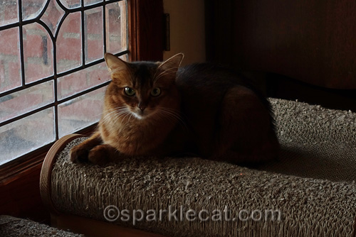 somali cat sitting on scratch lounger by window for peaceful, quiet early evening