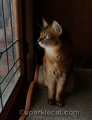 somali cat sits up and looks out of window