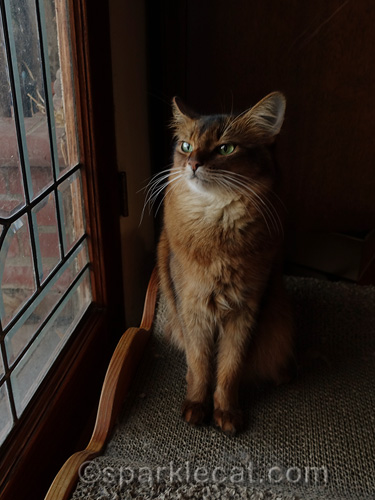 somali cat sits by window, looking annoyed