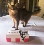 somali cat on dining table with KFC on National Fried Chicken Day