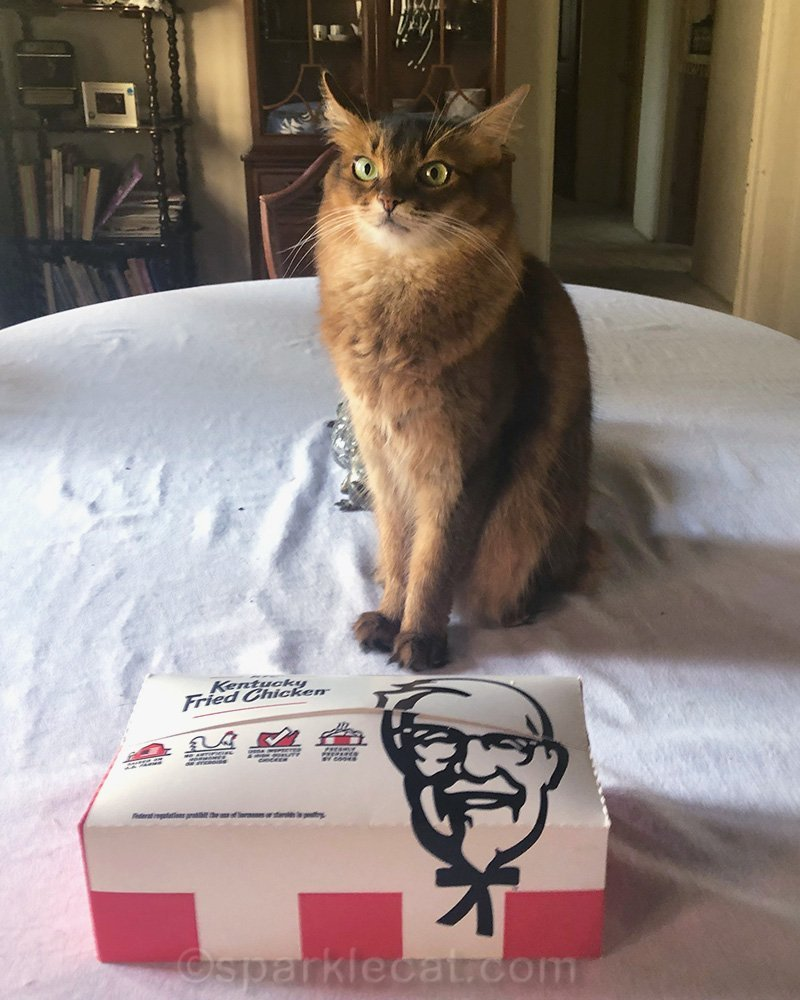Somali cat impatient for her fried chicken