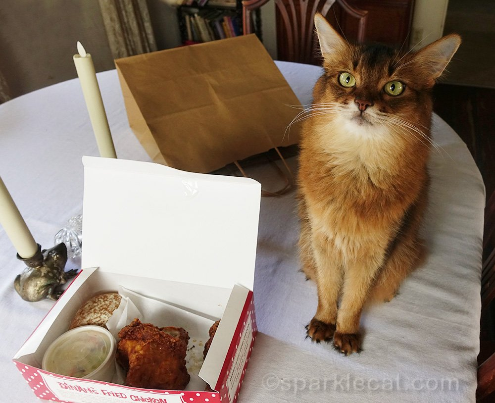 somali cat waiting for a taste of fried chicken