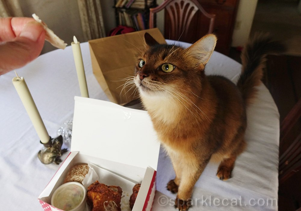 somali cat impatient for a piece of fried chicken