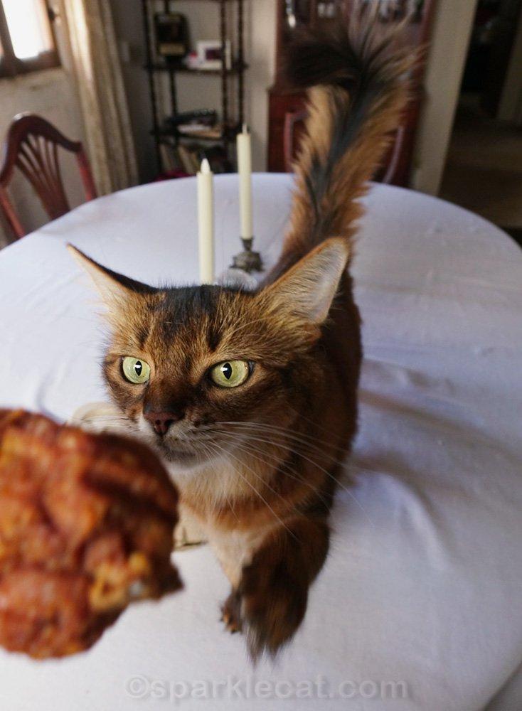 somali cat wanting a fried chicken leg
