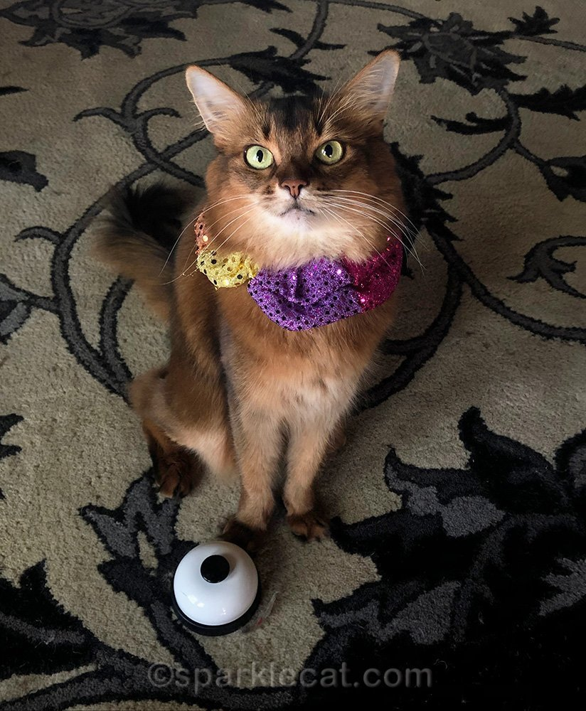 somali cat with circus collar and desk bell