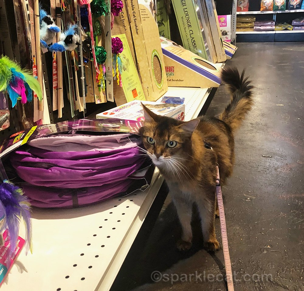 somali cat rubbing on cat toys at pet store
