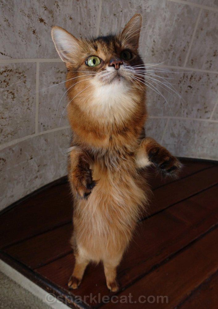 somali cat standing on hind legs