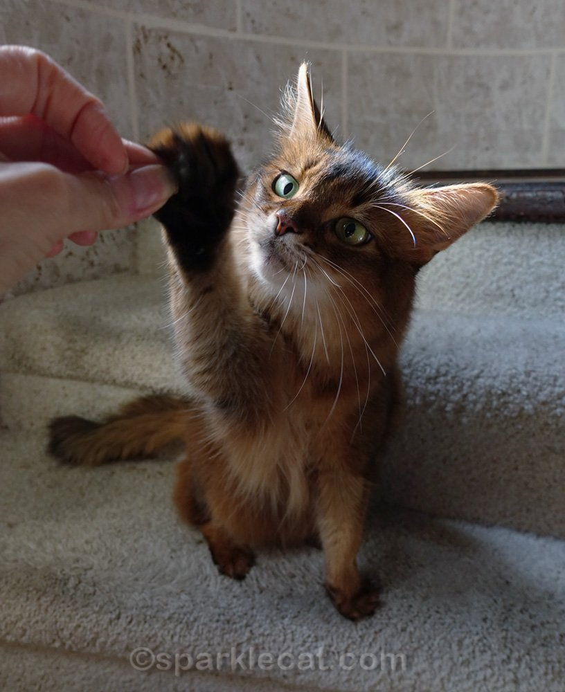 somali cat reaching for treat with right paw