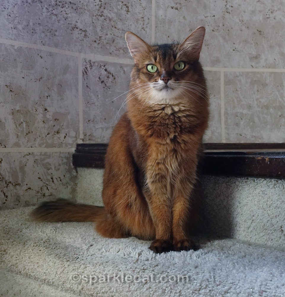 somali cat sitting on step in a turret