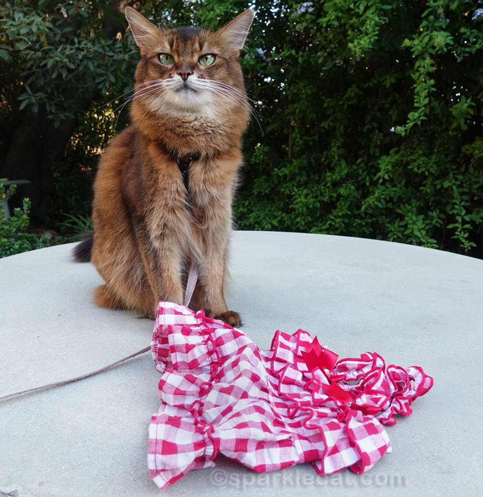 It's summertime cat modeling with Summer the cat in her breezy gingham dress.