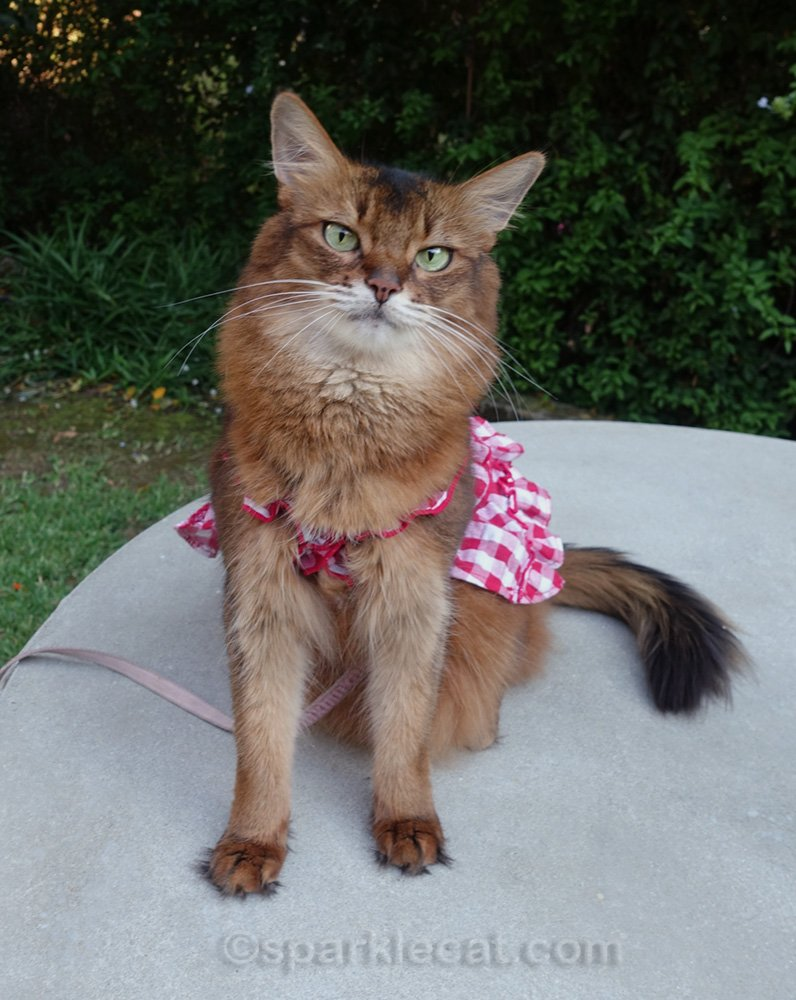 Somali cat in her gingham dress