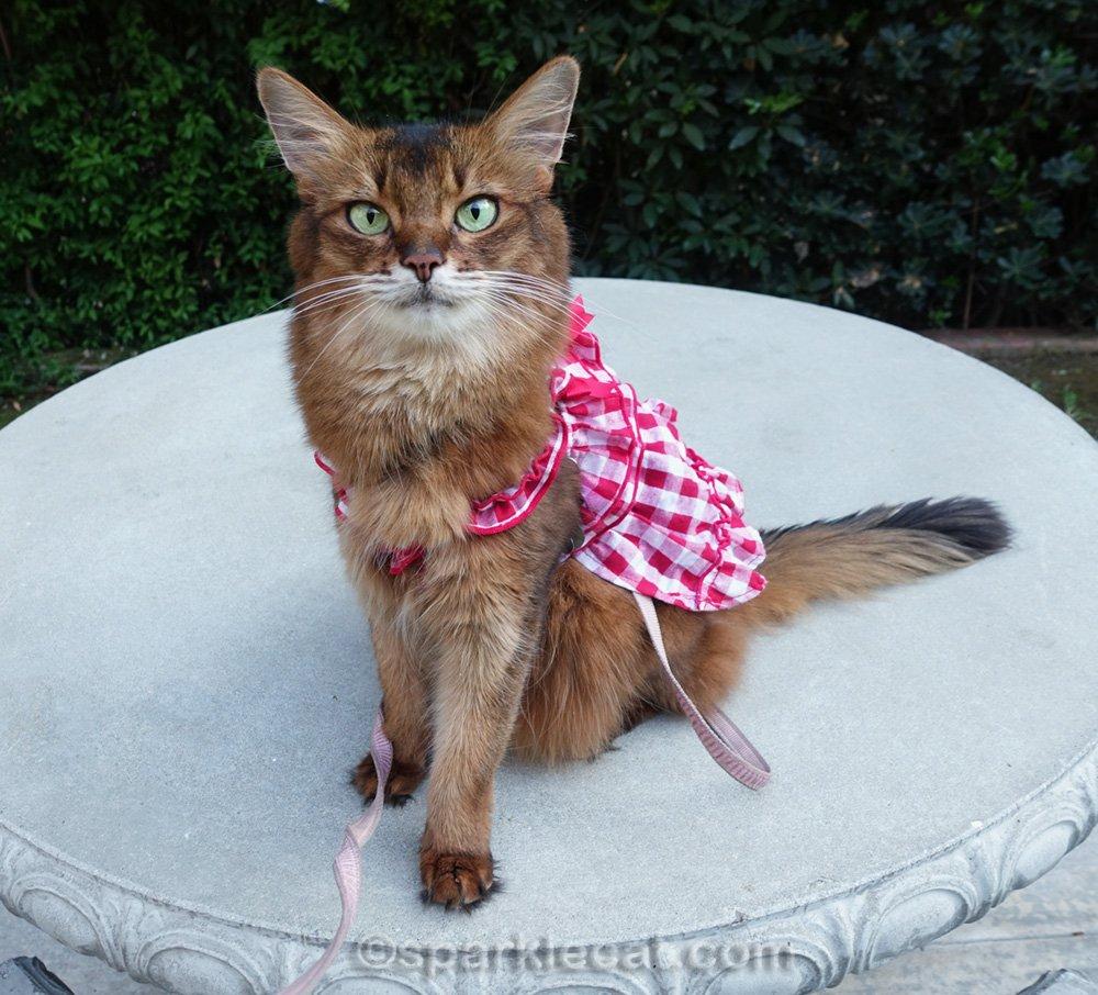 somali cat posing in her dress