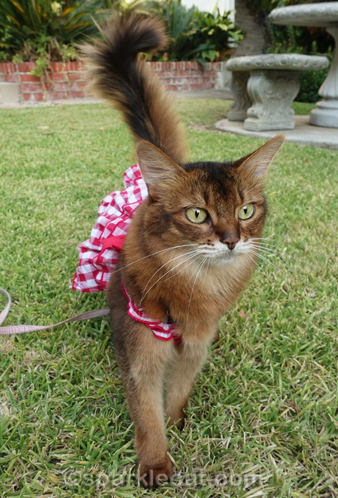 somali cat in dress walking on leash