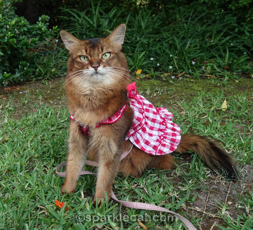 Somali cat in dress, posing with greenery in the background