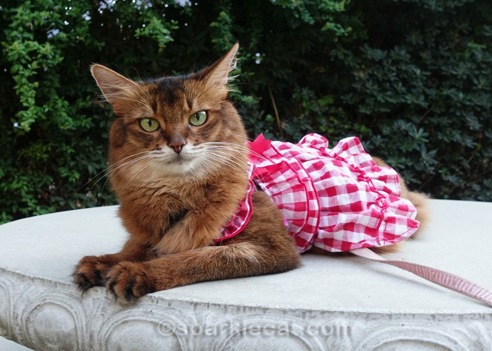 Somali cat in dress, relaxing on concrete table