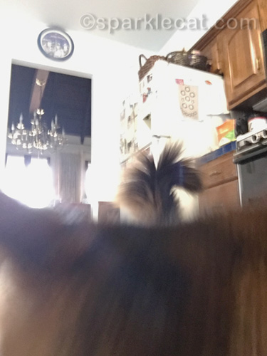 somali cat touches iPhone with nose