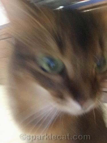 somali cat in motion for selfie