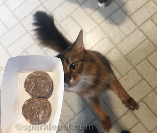 somali cat sitting up for her dinner