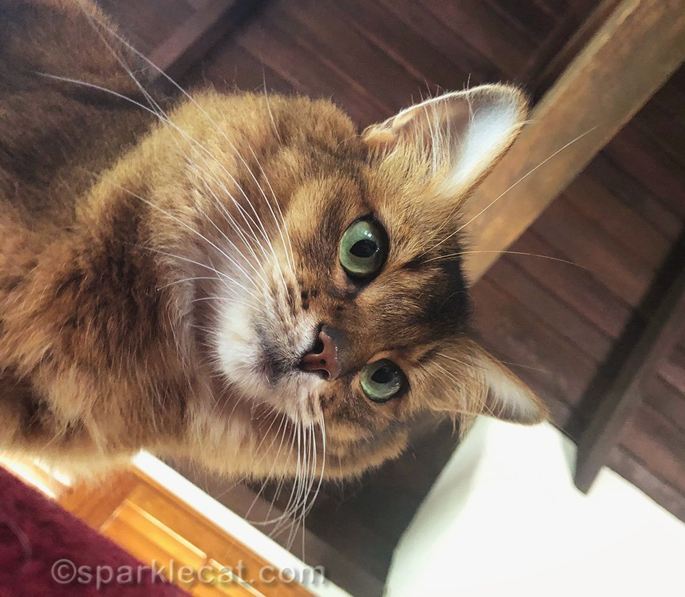somali cat watching human from soft armrest