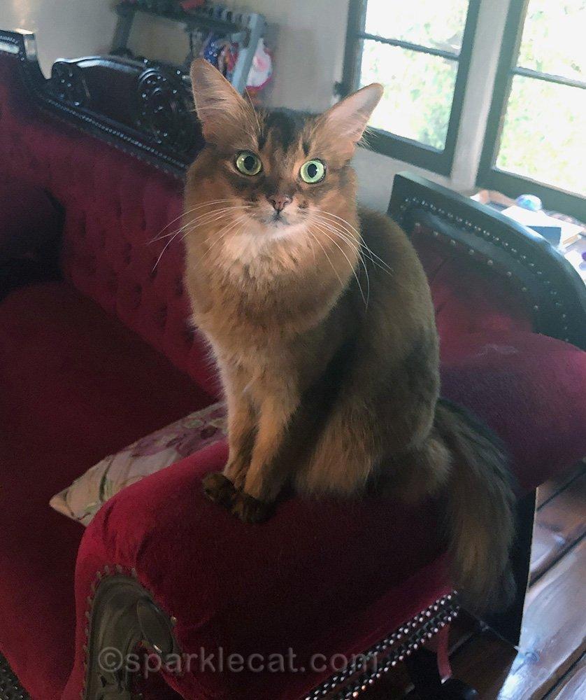somali cat sitting on sofa armrest