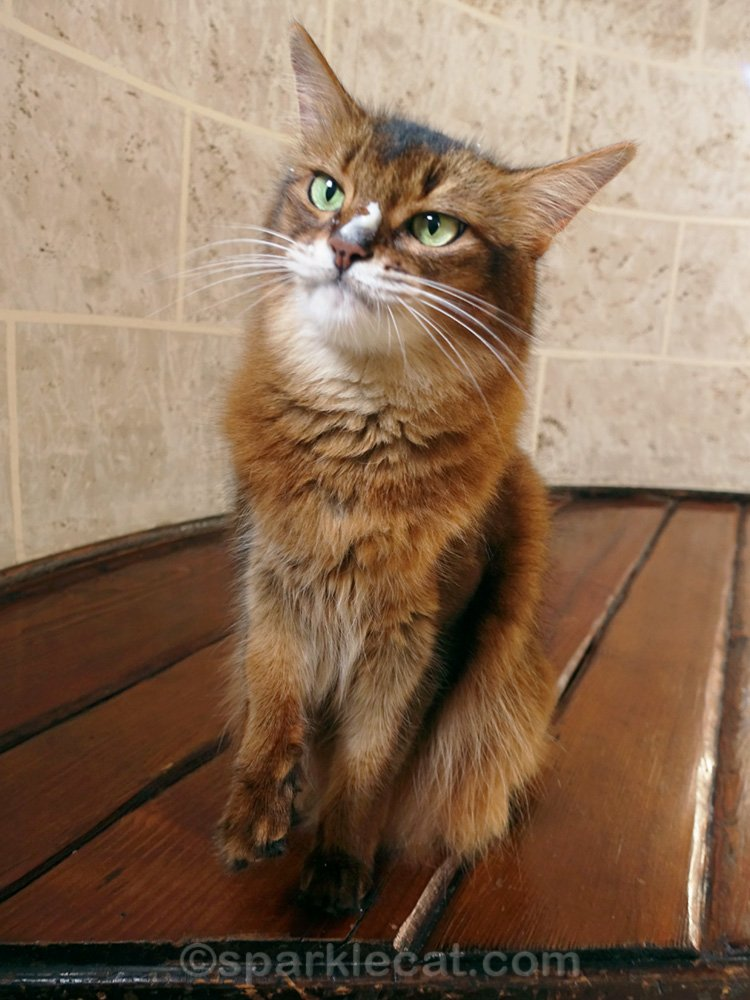 Somali cat with treat puree on nose