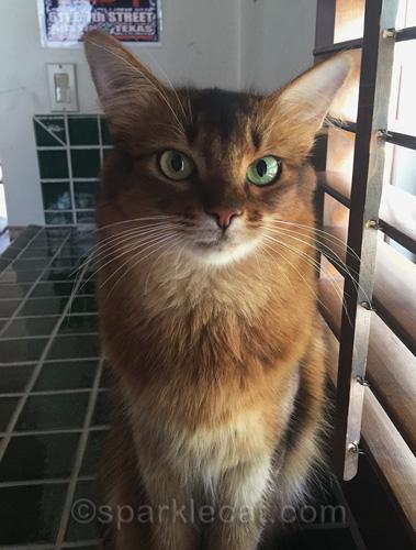 somali cat posing in master bathroom with green tile