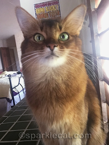 somali cat posing for a bathroom selfie