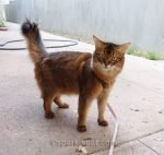 somali cat on an after dinner walk
