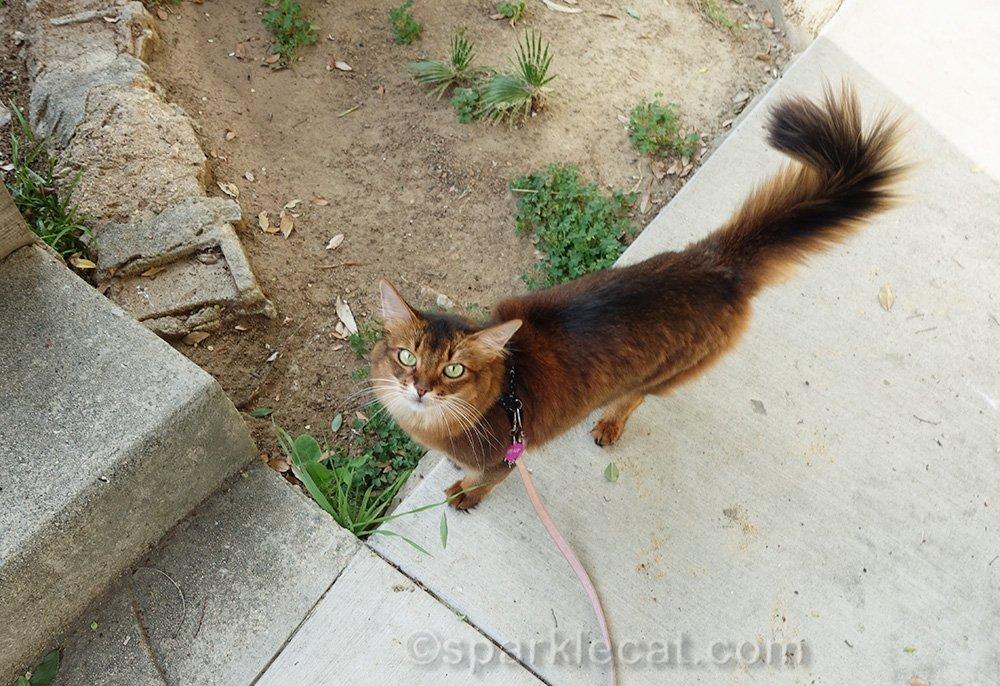 somali cat on walkway