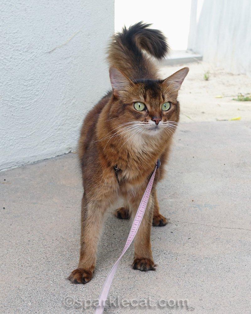 somali cat on a leash