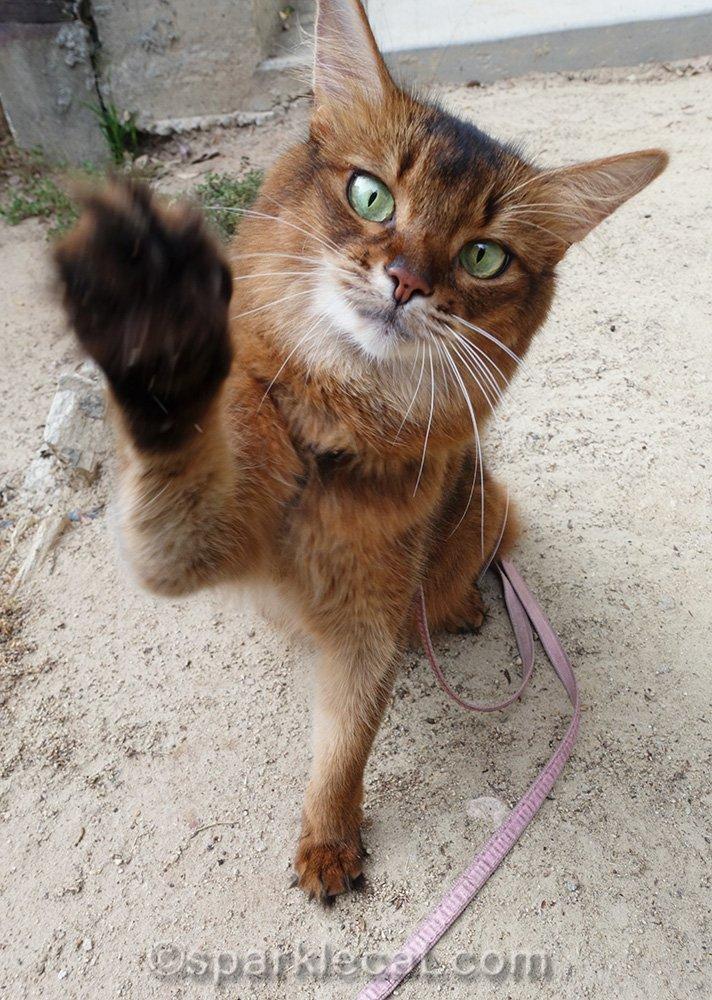 somali cat waving at camera