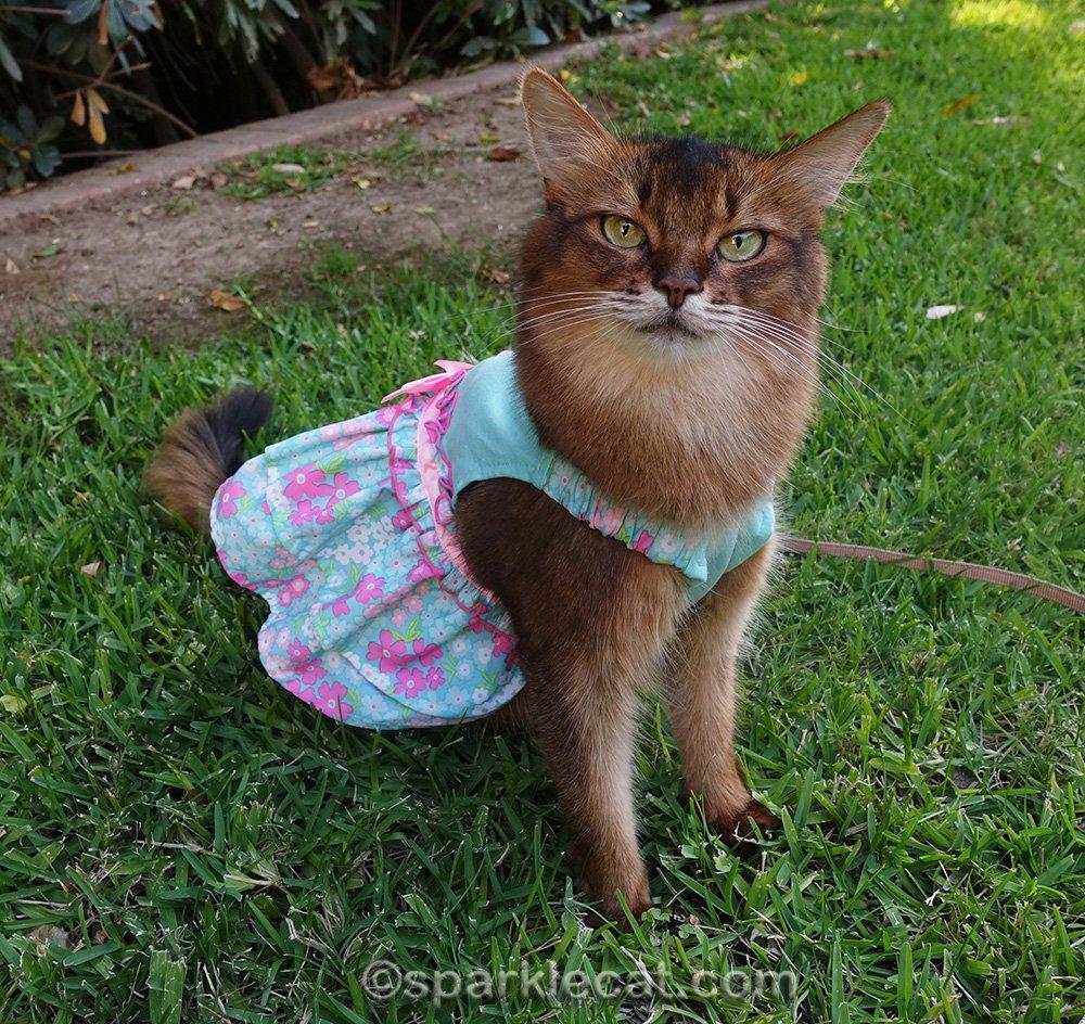 somali cat in turquoise dress, modeling feline fashion on friday