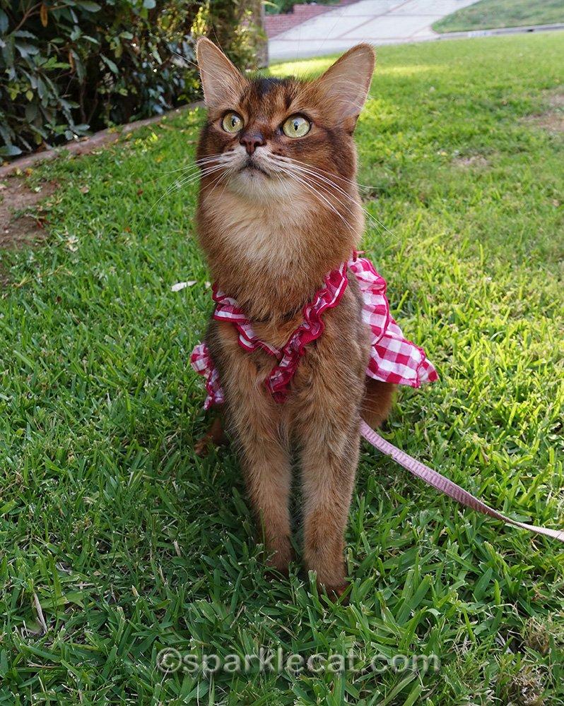 cat in dress, still watching birds
